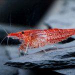 Red Fire Aquarium Garnele