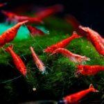 Viele Red Fire Aquarium Garnelen